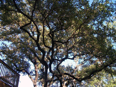 san antonio tree pruning