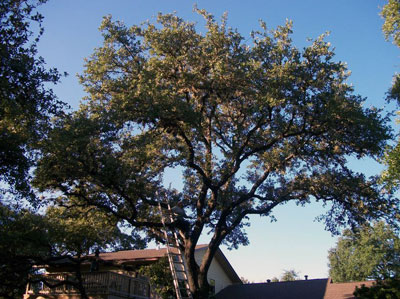 large tree removal san antonio